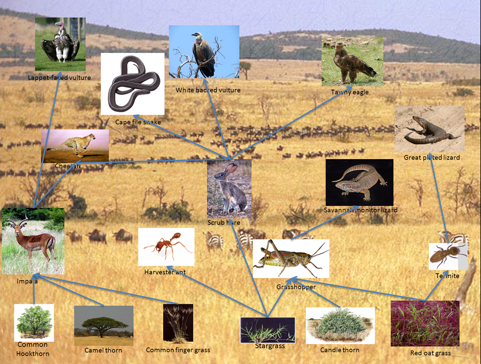 african savanna food web | Food